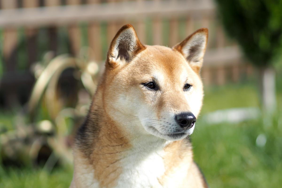 shiba inu traum vom eigenen hund bayer