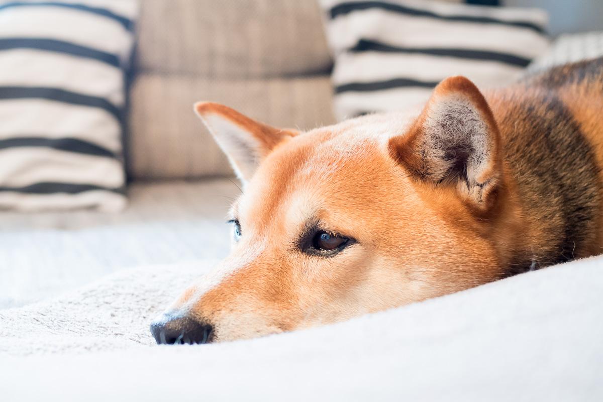 Hund sammy shiba inu sofa otto shopping festival