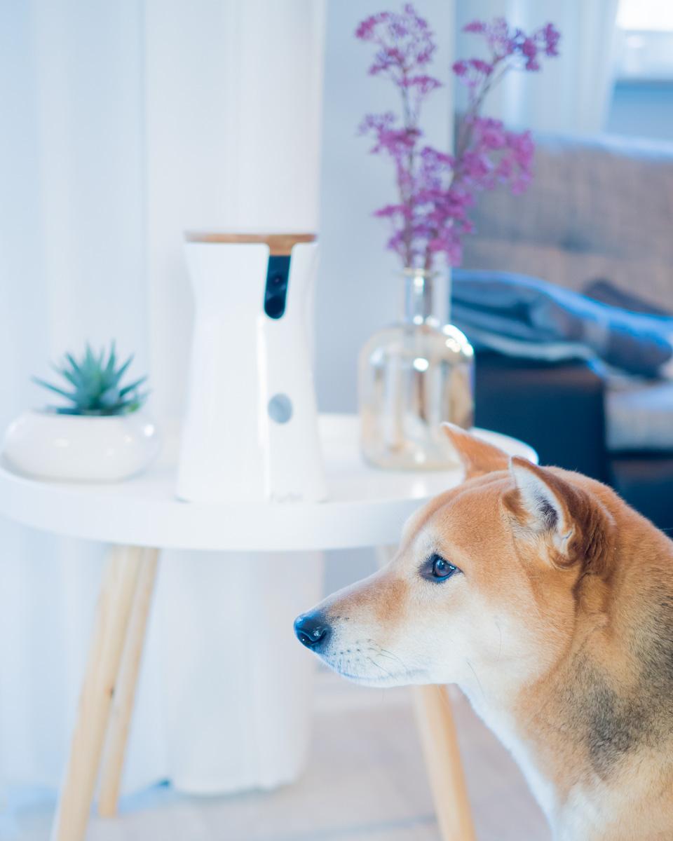 hund alleinsein trainieren furbo hundekamera