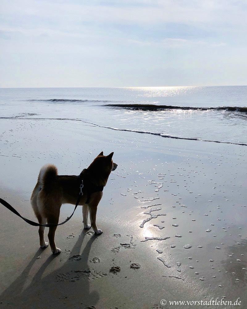 Sammy auf Sylt Shiba Inu gluecklich leben mit hund