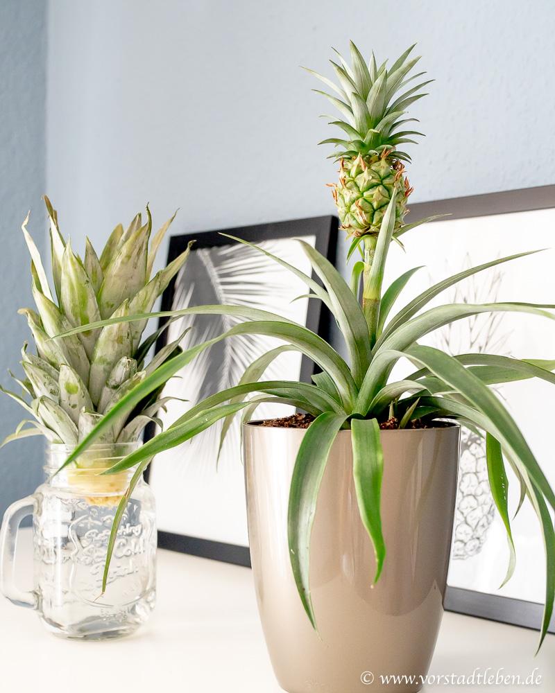 ananas selber ziehen steckling