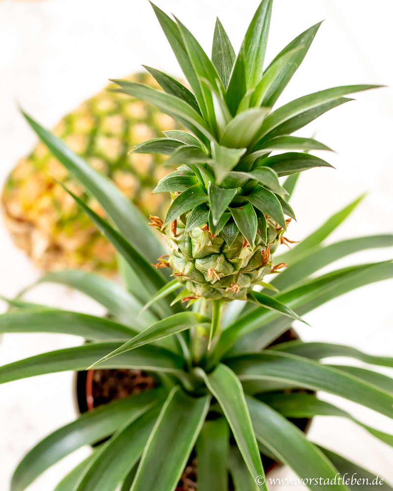ananas vermehren pflanze selbst ziehen