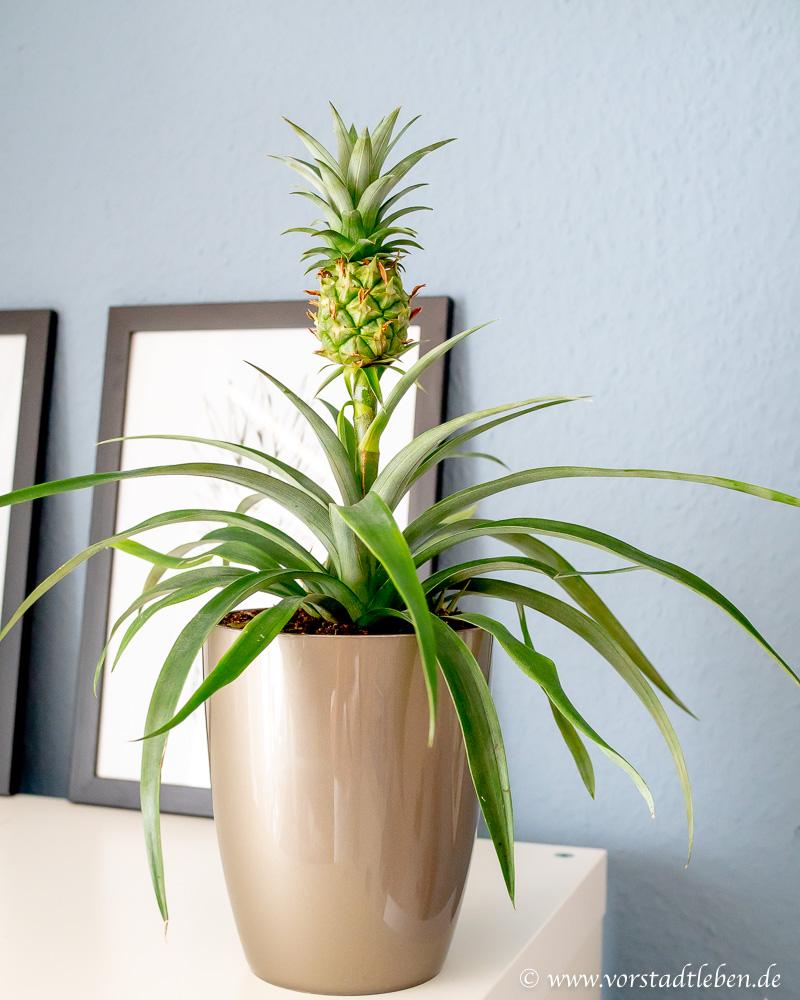ananaspflanze vermehren