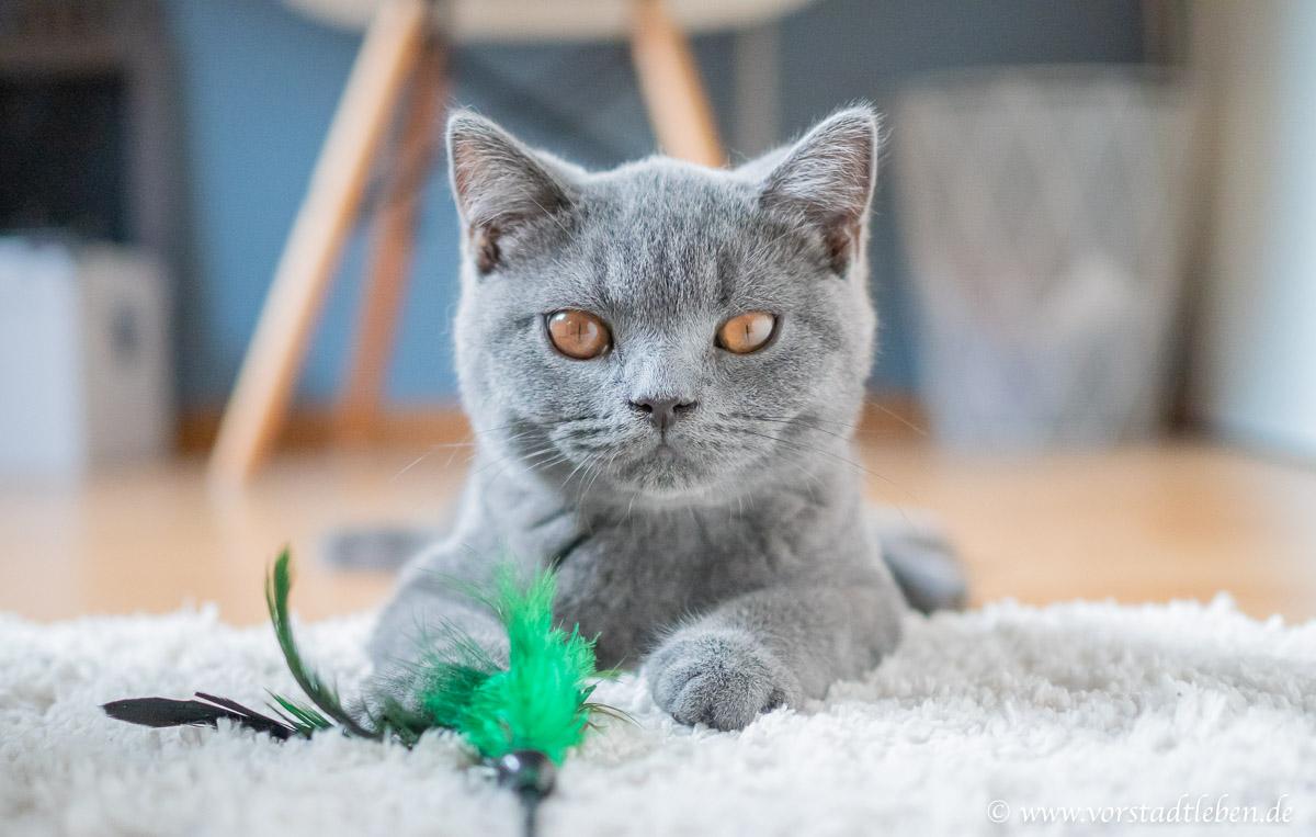 Mr. Wilson Britisch Kurzhaar Kater Wildes Land Katzenfutter