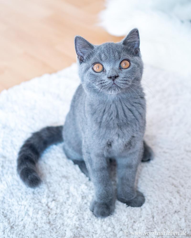 Wildes Land Katzenfutter Britisch Kurzhaar